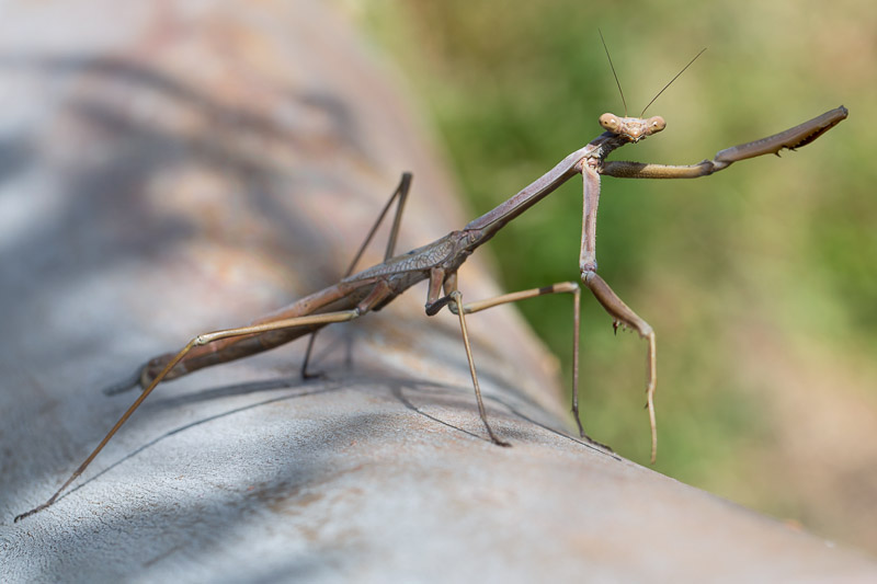 Praying Mantis, Archimantis latistyla