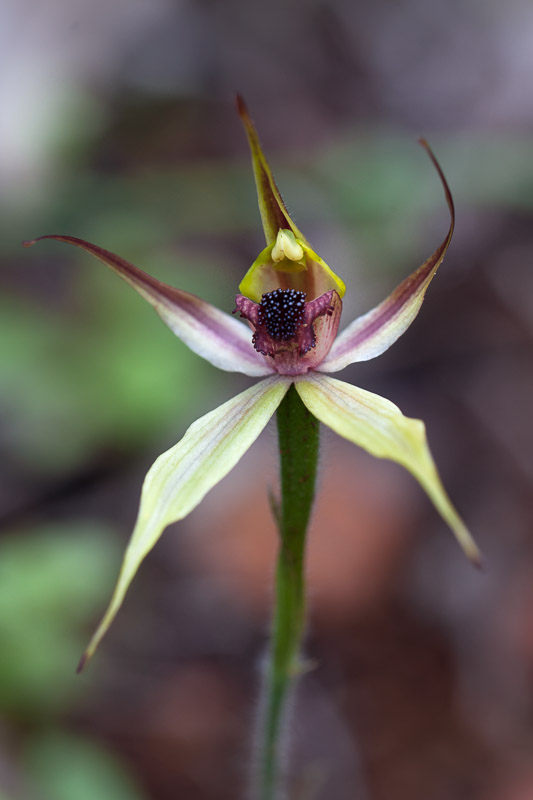 Leaping Spider Orchid - Caladenia macrostylis
