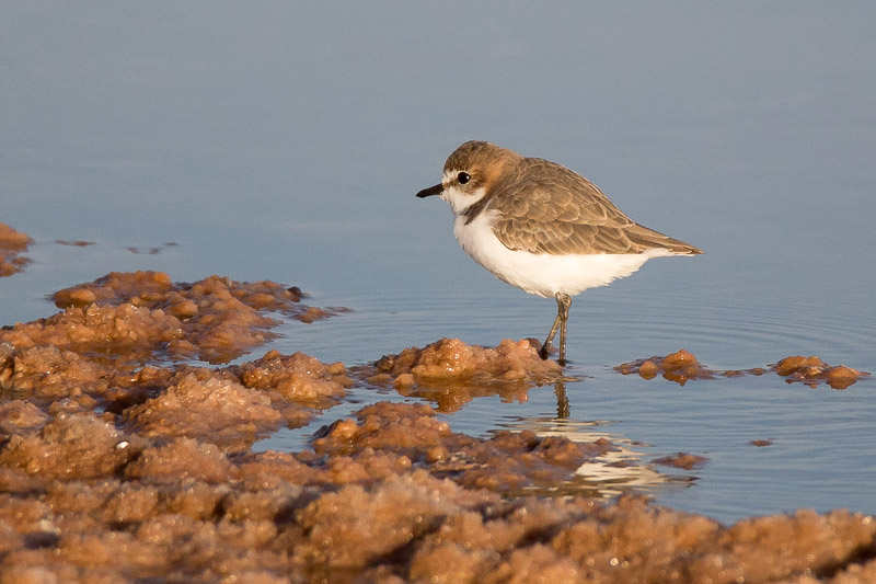 Red capped Plover, Charadrius ruficapillus