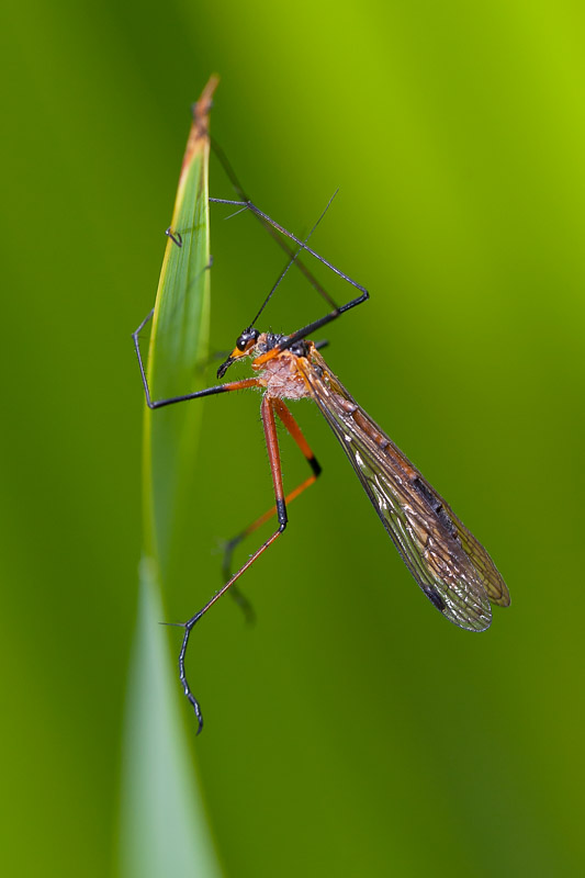 Crane Fly - Tipulidae sp