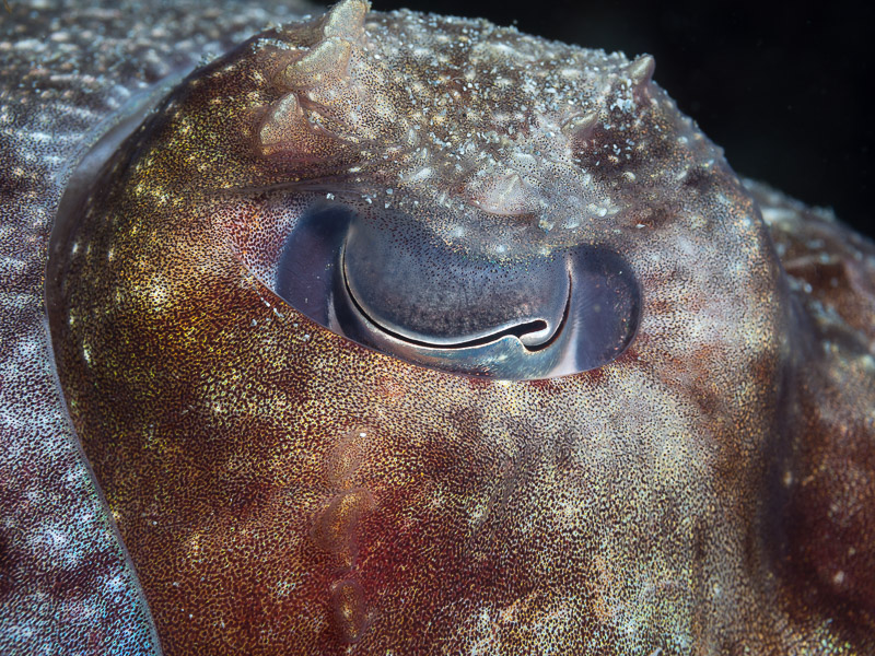Giant Cuttlefish - Sepia apama, eye