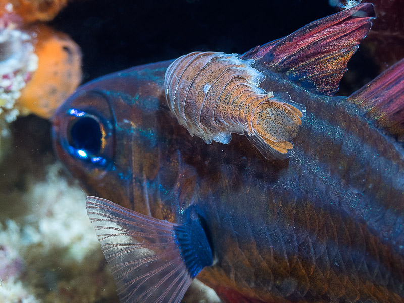 Parasitic isopod - Anilocra apogonae on Western striped cardinalfish - Apogon victoriae