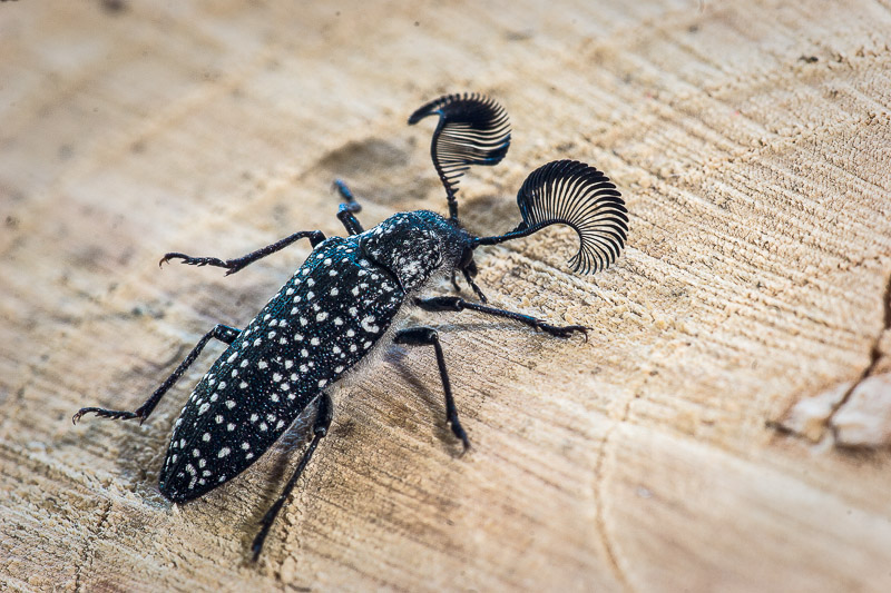 White-spotted Feather Horn Beetle - Rhipidocera mystacina