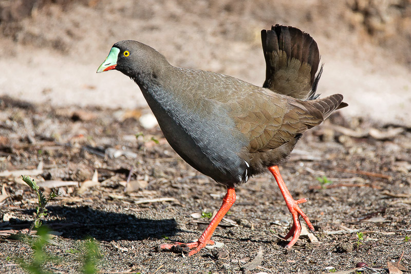 Black-tailed Native-hen - Tribonyx ventralis