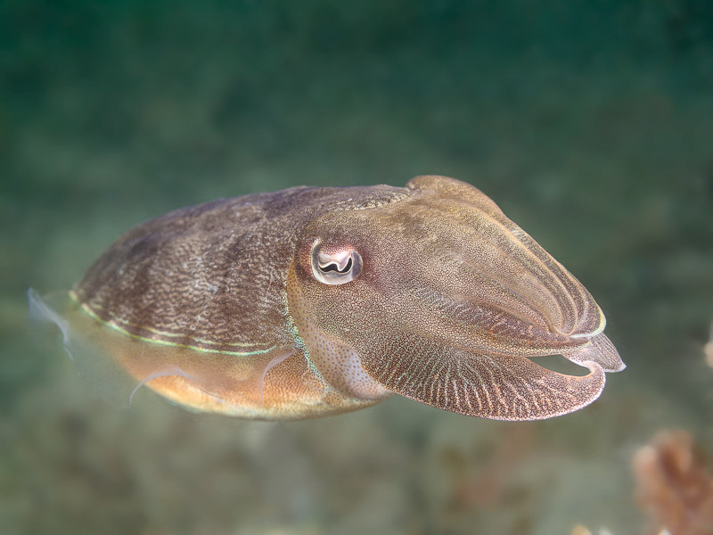 Cuttlefish - Sepia sp.
